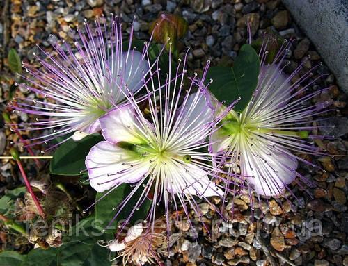 КАПЕРСЫ - СЪЕДОБНЫЕ ЦВЕТЫ (Capparis spinosa var. inermis)
