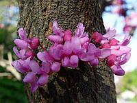 ЦЕРСИС - иудино дерево, фото 1