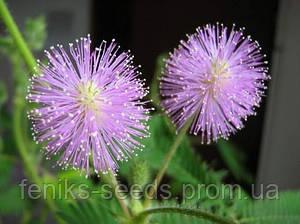 Мимоза Стыдливая семена