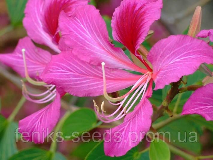 Семена Баухиния пурпурная