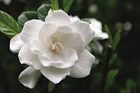 ГАРДЕНИЯ (jasminoides), фото 1
