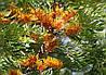 ГРЕВИЛЛЕЯ МОЩНАЯ (GREVILLEA robusta)