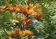 ГРЕВИЛЛЕЯ МОЩНАЯ (GREVILLEA robusta), фото 1