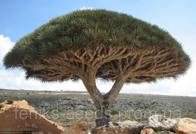Семена Драконово Дерево