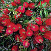 КАЛЛИСТЕМОН (CALLISTEMON citrinus Red Bottlebrush)
