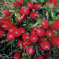 КАЛЛИСТЕМОН (CALLISTEMON citrinus Red Bottlebrush), фото 1