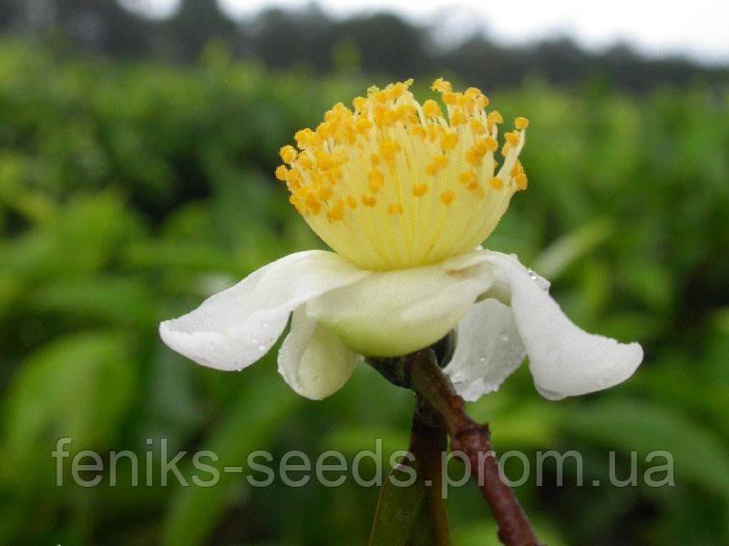 Семена Камелия - чайный куст