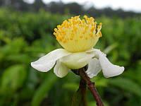 КАМЕЛИЯ - ЧАЙНЫЙ КУСТ (Camellia sinensis), фото 1
