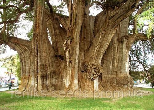 Семена Дерево Бодхи или Священный Фикус