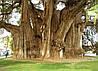 СВЯЩЕННЫЙ ФИКУС - ДЕРЕВО БОДХИ (Ficus religiosa)
