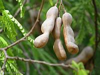 ТАМАРИНД (Tamarindus indica), фото 1
