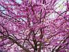 ЦЕРСИС - иудино дерево