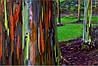 ЭВКАЛИПТ РАДУЖНЫЙ (Eucalyptus deglupta, rainbow eucalyptus)
