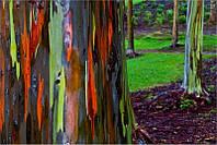 ЭВКАЛИПТ РАДУЖНЫЙ (Eucalyptus deglupta, rainbow eucalyptus), фото 1