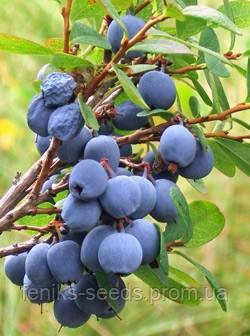 Семена Голубика
