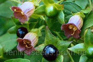 Беладонна семена