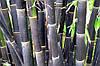 БАМБУК ЧЕРНЫЙ ГИГАНТСКИЙ (Dendrocalamus asper)