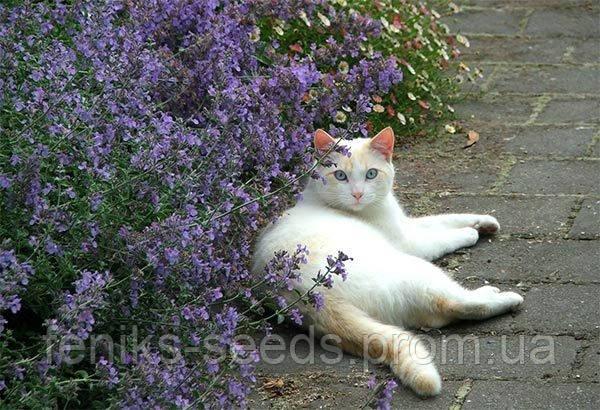Кошачья Мята семена