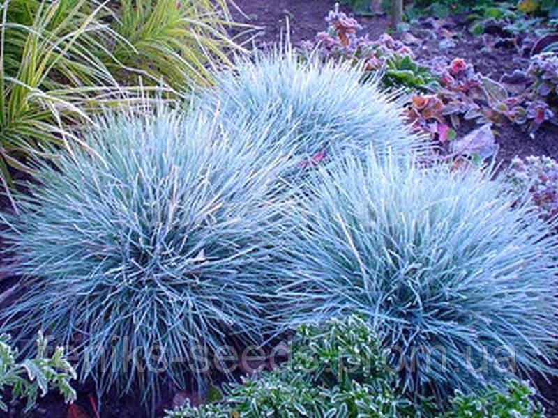 Семена Овсяница голубая