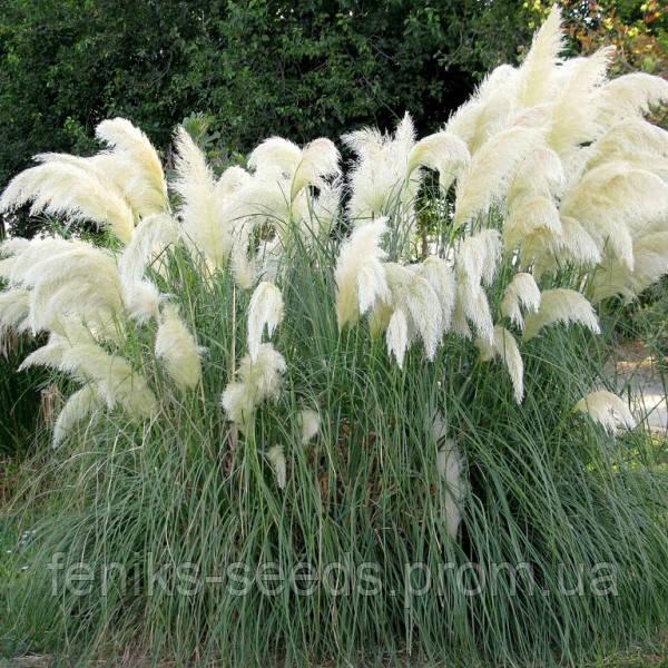 Семена Пампасная Трава белая