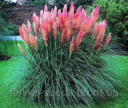 Семена Пампасная Трава розовая