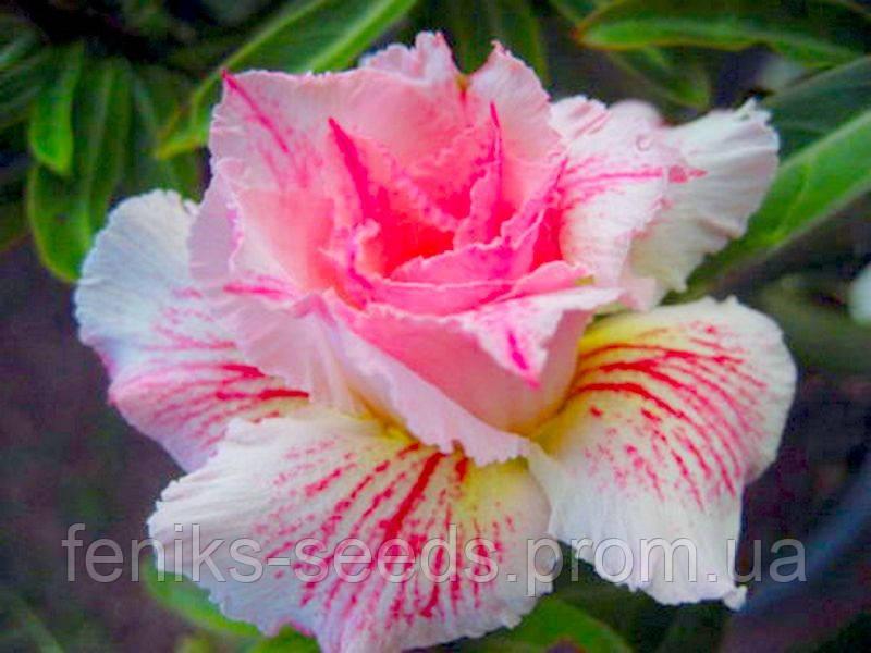 Семена Адениум  Розовая Пантера