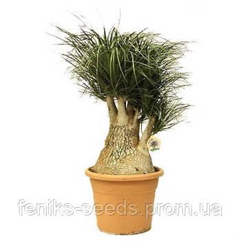 Семена Нолина - Бутылочное дерево