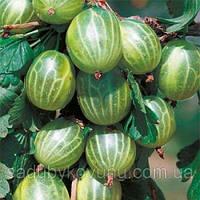 Саженцы крыжовника Инквинта (1-летний, высота 1.0-1.2 метра, урожайность до 6 кг)