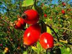 Масло шиповника (роза москета) 10мл