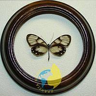 Сувенир - Бабочка в рамке Godyris zavaleta. Оригинальный и неповторимый подарок!