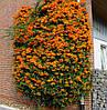 Пираканта Orange Glow (Оранж Глоу), 10-15 см, 1-летки, контейнер 0,5 л