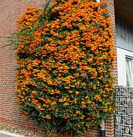 Пираканта Orange Glow (Оранж Глоу), 10-15 см, 1-летки, контейнер 0,5 л, фото 1