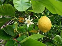 Лимон комнатный Новогрузинский (не требует прививки) - укоренённый черенок