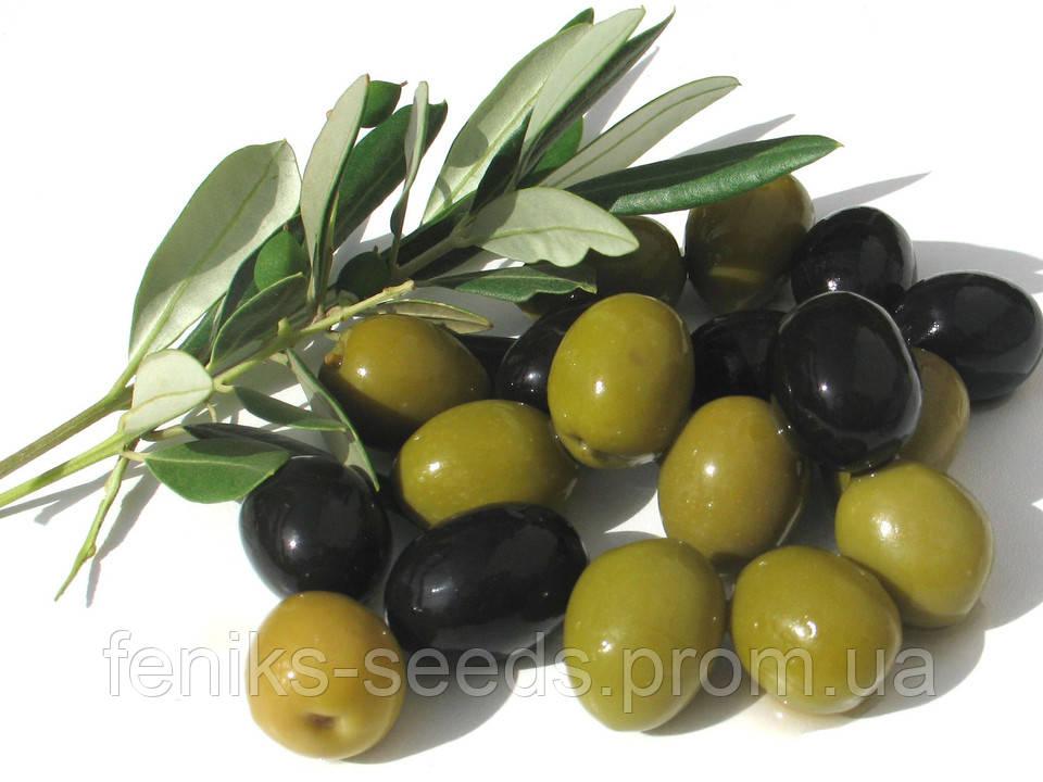 Семена Оливковое Дерево
