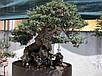 ОЛИВКОВОЕ ДЕРЕВО (Olive Bonsai Tree), фото 4