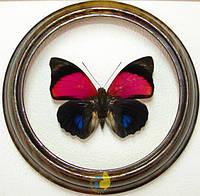 Сувенир - Бабочка в рамке Agrias amydon tryphon. Оригинальный и неповторимый подарок!, фото 1