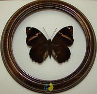 Сувенир - Бабочка в рамке Opsiphanes quiteria quirinalis. Оригинальный и неповторимый подарок!