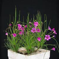 БИБЛИС ЛЬНОЦВЕТКОВЫЙ (Byblis liniflora) - РЕДЧАЙШИЕ СЕМЕНА