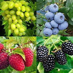 Саженцы плодово-ягодных кустов