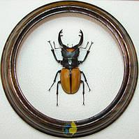 Сувенир - Жук в рамке Odontolabis lacordairei. Оригинальный и неповторимый подарок!