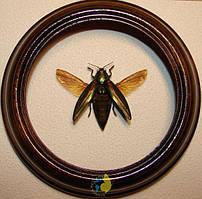 Сувенир - Жук в рамке Chrysochroa purpureiventris. Оригинальный и неповторимый подарок!