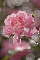 """Фотообои """"Bouquet"""" 254х184 4-713"""