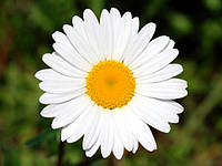 Цветки, лепестки, бутоны, шишки лекарственных растений