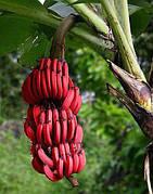Банан Красный (Musa acuminata Red Dacca) Комнатный