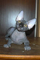 Продажа котят Канадского сфинкса, Фото
