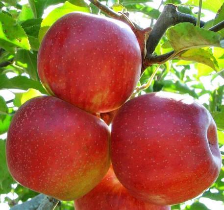 "Саженцы яблони ""Джонаголд"", фото 2"