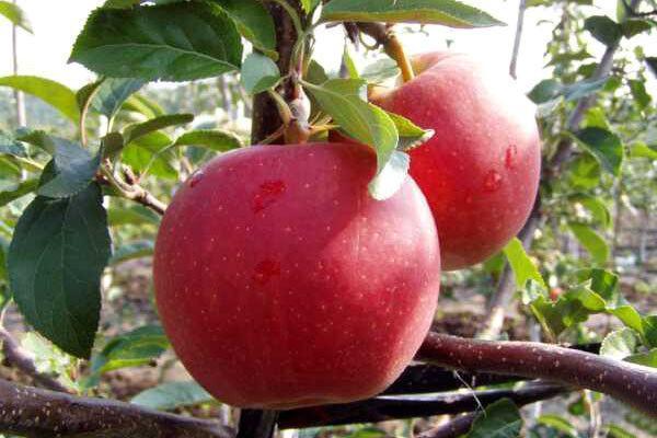 """Саженцы яблони """"Гала"""""""
