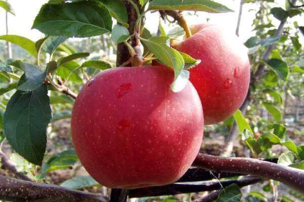 "Саженцы яблони ""Гала"", фото 2"