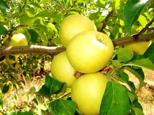 """Саженцы яблони """"Голден"""""""