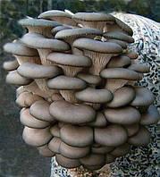Грибной мешок, Грядка, грибной блок — вешенка,глива